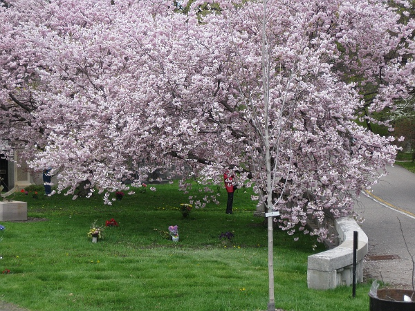 Tree in Mount Pleasant Cemetery in bloom